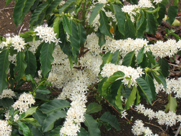 Coffee_Flowers_arabica
